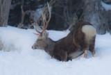 Sitka Deer digging