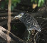 Nanking Night Heron,juvenile