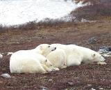 Polar Bears at Churchill,Canada-2001