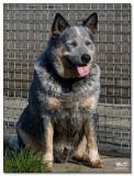 2008-Australian cattledog Dipper-10151