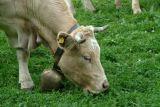 Kuh mit Glocke, Braunvieh