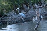 Mamma Blue Heron