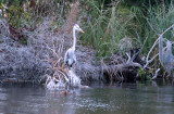 Mamma Blue Heron2