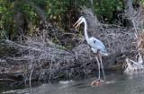 Mamma Blue Heron3