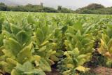 Plantaciones de Tabaco son Comunes en la Region