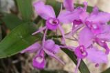 Orquideas Propias del Lugar, LLamada Flor de Candelaria