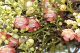 Singulares Flores en un Arbol del Parque Central