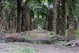Detalle del Cultivo de Palma Africana
