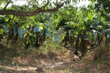 Plantacion de Banano
