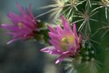 Hedgehog Cactus v1