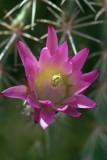 Hedgehog Cactus v3