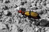 Beetle_8795ds2.jpg