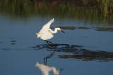 A hunting snowy egret