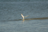 Tern taking off from the water