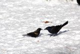 Red-winged Blackbird taking seed from the Grackle