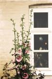 sweet hollyhock flowers