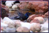 Great Tail Grackle Bathing