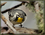 Yellow Thoated Warbler