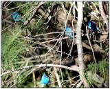 Tree Full of Indigo Buntings
