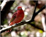 Summer Tanager  Capture at Smith's Woods Sanctuary High Island Texas