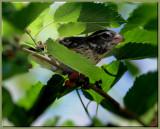Female Rose Chested Grosbeak