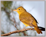 Summer Tanager (F)