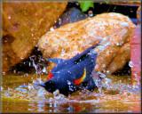 Redwing Bathing