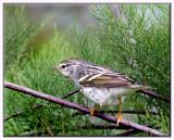 Blackpole Warbler (F)