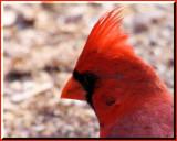 Nothern Cardinal.