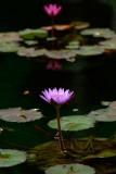 Sleeping Lotus (1)