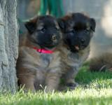 Keya's Puppies