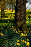A Host, Of Golden Daffodils.