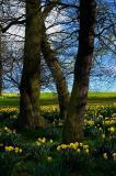 Among The Daffodils.
