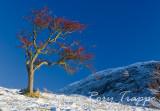 Hawthorn tree and Manod mawr