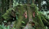 A Pig Head?, Alishan Forest Recreation Park (May-Jun 06)