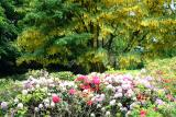 Laburnum and rhododendrons