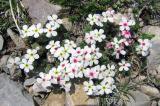White flowers Pyrenees