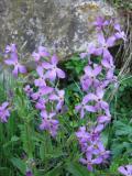 Patones purple flowers