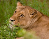 Lioness In Waiting