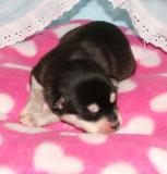 HollywoodRio Puppies 22109 011.JPG