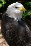 eagleb1875_Bald Eagle