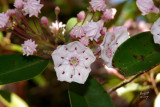 kallat4873_Kalmia latifolia