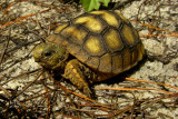 goptor6471_Gopher Tortoise