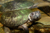turtlebog1434_Bog Turtle