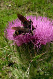 cirhor7752_Purple Thistle