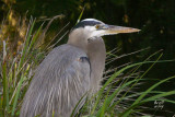 herongb2374_Great Blue Heron