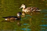 Pair in non-breeding plumage