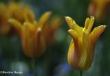 Des tulipes, rien que des tulipes