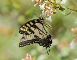 Swallowtail Eastern Tiger II.jpg