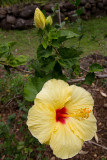 c3074 Hibiscus